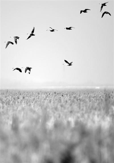 """""""1+4""""规划为生态保护加码 天津湿地成百万只候鸟迁徙路上的""""加油站"""""""