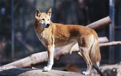 澳洲野犬祖先竟是9900年前来自中国南方的家犬  被古人类驯化后又经历了5000年野化
