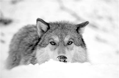 科学家成功揭示家犬在驯化中突变组  比灰狼积累了更多有害突变